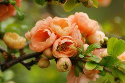 Salmon Quince Blossom